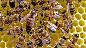 cong dung cua sua ong chua